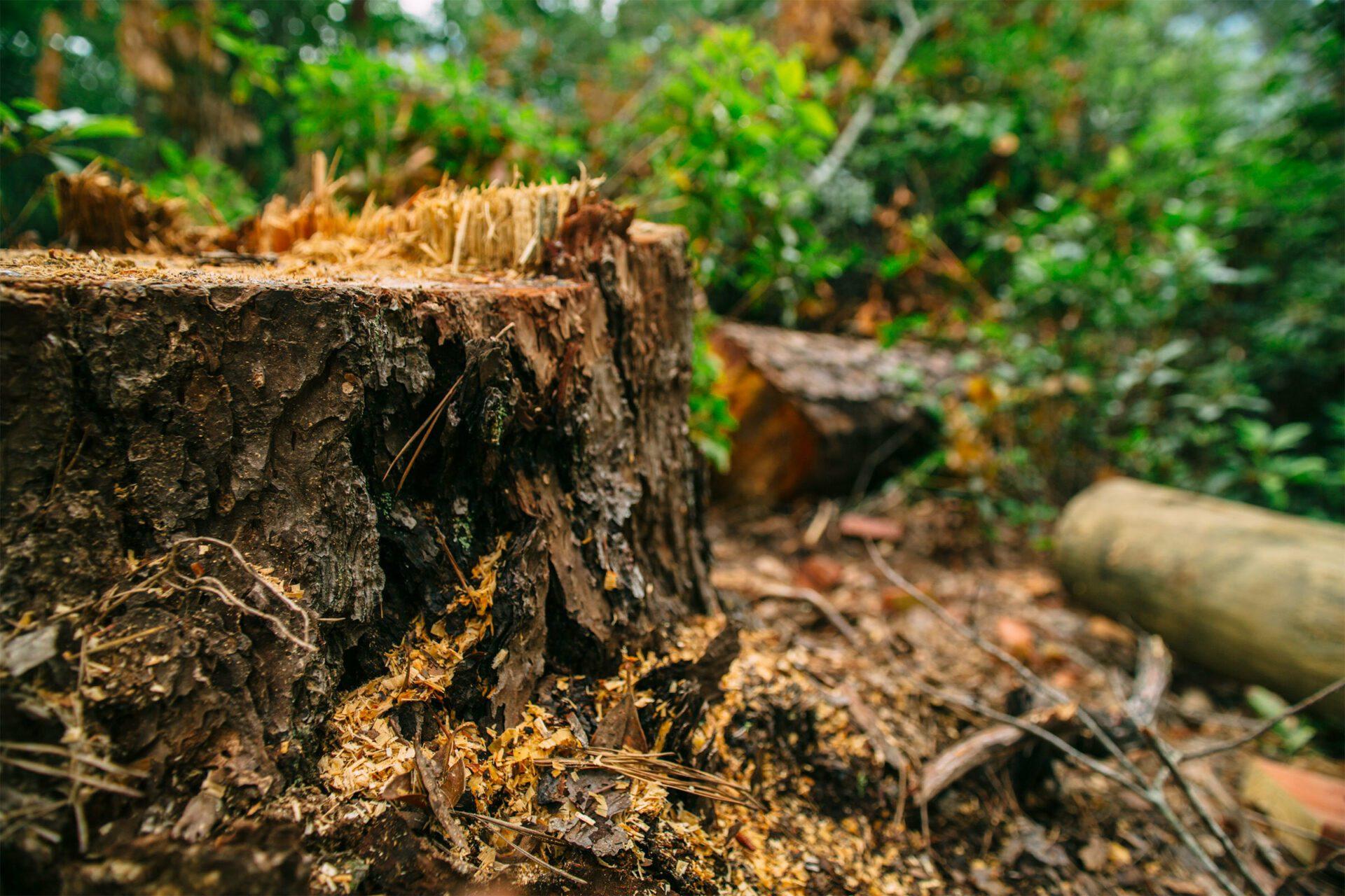 R.I.P. Wobbly Pine