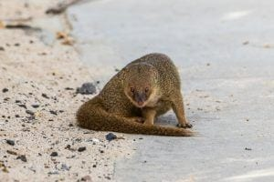 mongoose on a beach