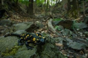 salamander in the smoky mountains